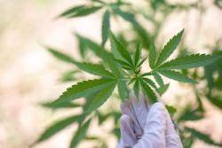 美国大麻联邦合法化呼声渐高,这4只顶级大麻股值得关注